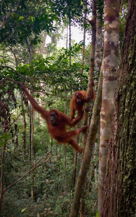 Southeast Asia Tour. Mother and baby orangutan in the jungle of Bukit Lawang - Sumatra