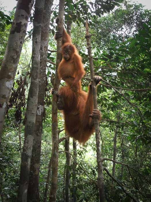 Orangutan and two-year-old breeding in the Bukit Lawang jungle in Sumatra