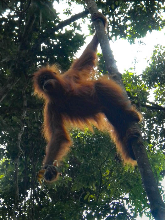 Tree orangutan in the jungle of Bukit Lawang in Sumatra