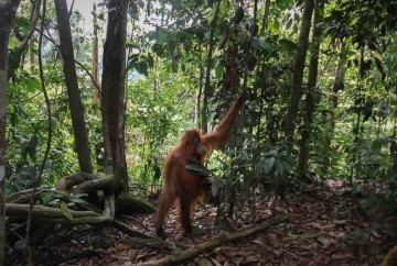 [:es]Orangután caminando en la selva de Bukit Lawang en Sumatra[:en]Orangutan walking in the jungle of Bukit Lawang in Sumatra[:]