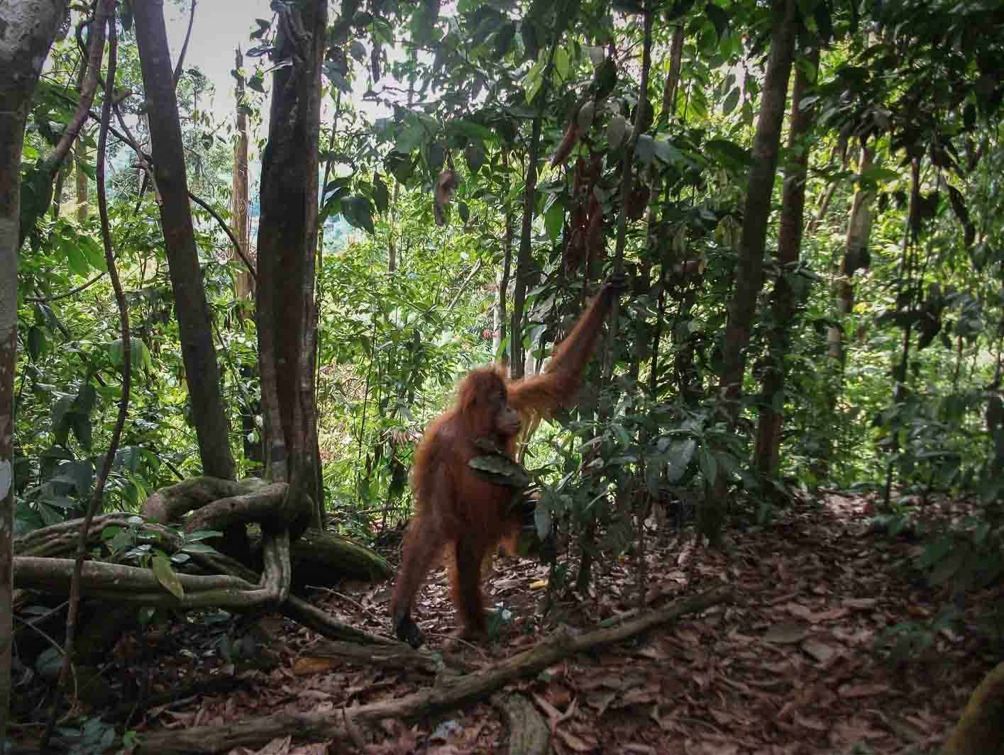 two days trekking to see Orangutan walking in the jungle of Bukit Lawang in Sumatra