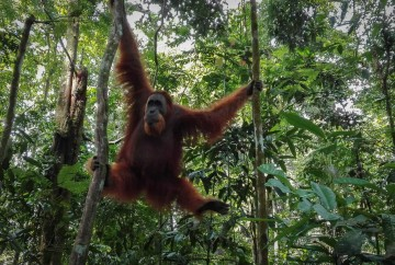 [:es]Orangután macho en libertad en la selva de Bukit Lawang[:en]Male Orangutan released in the jungle of Bukit Lawang[:]