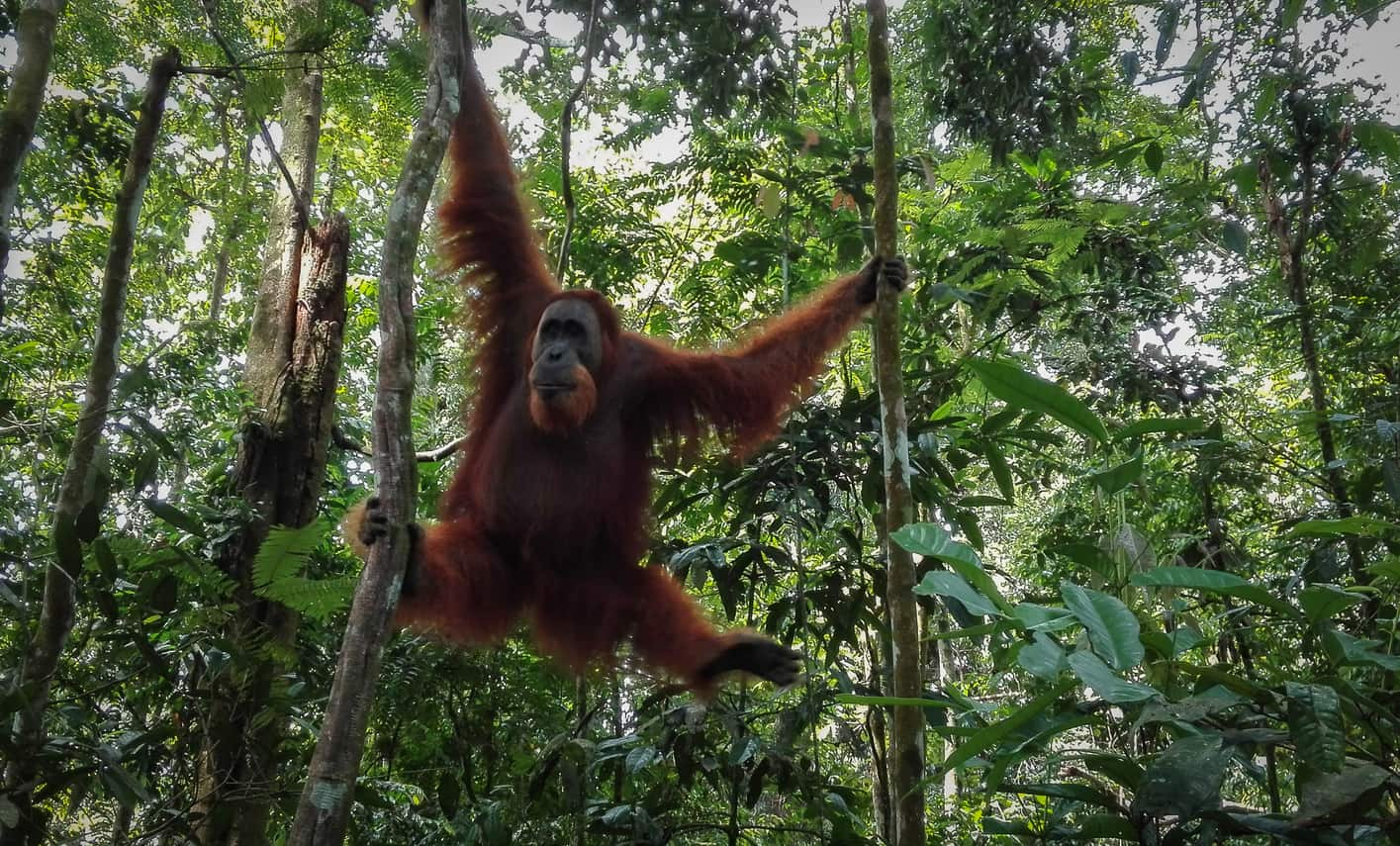Male Orangutan released in the jungle of Bukit Lawang. Southeast asia trip