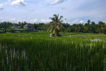 [:es]Viaje Sudeste Asiático. Arrozales, terrazas, Campos de arroz al Oeste de Ubud isla de Bali[:en]Southeast Asia Trip. Rice fields, terraces, rice fields to the west of Ubud Bali island[:]