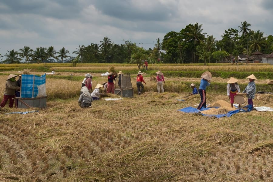 women harving rice in bali fields things to do