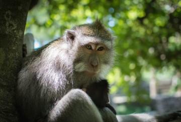 mejores excursiones y tours en bali Monos en Monkey Forest en el bosque sagrado de los monos de Ubud
