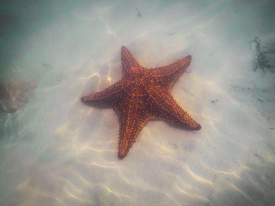 huge starfish in cayo jutias the best beach in cuba