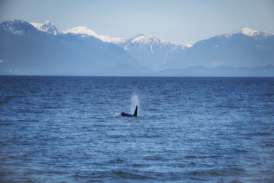 orca watching in Vancouver freedom everything you need to know to travel to the canadian rockies by train