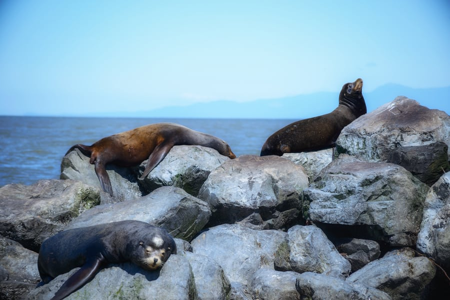 fauna en las montañas rocosas de canada leon marino de california