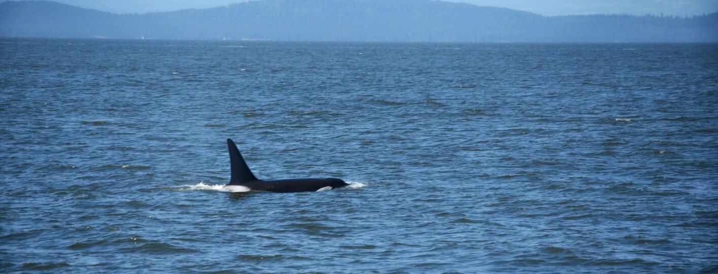 donde ver ballenas orcas en canada vancouver mejor epoca