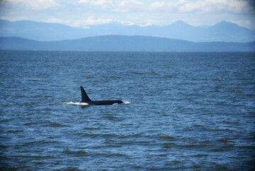 best time to see orcas in vancouver canada