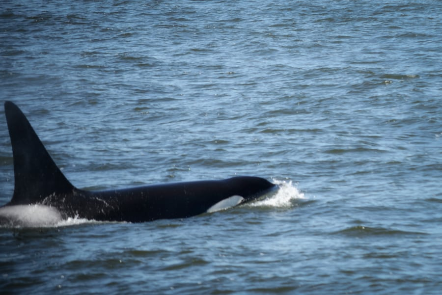 fauna costa oeste canada orca vancouver