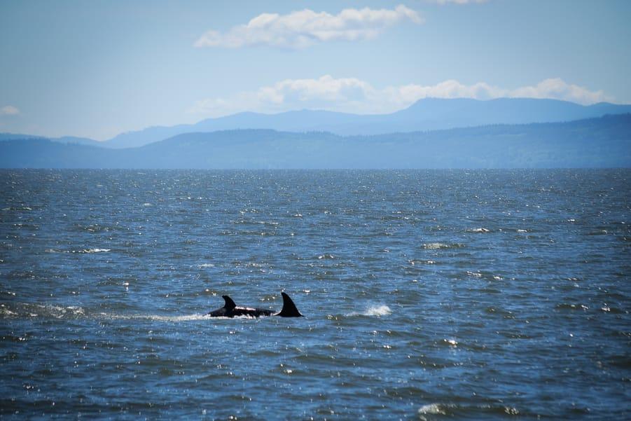 avistamiento ballenas canada