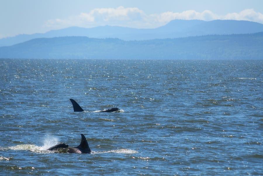 ballenas orcas en canada