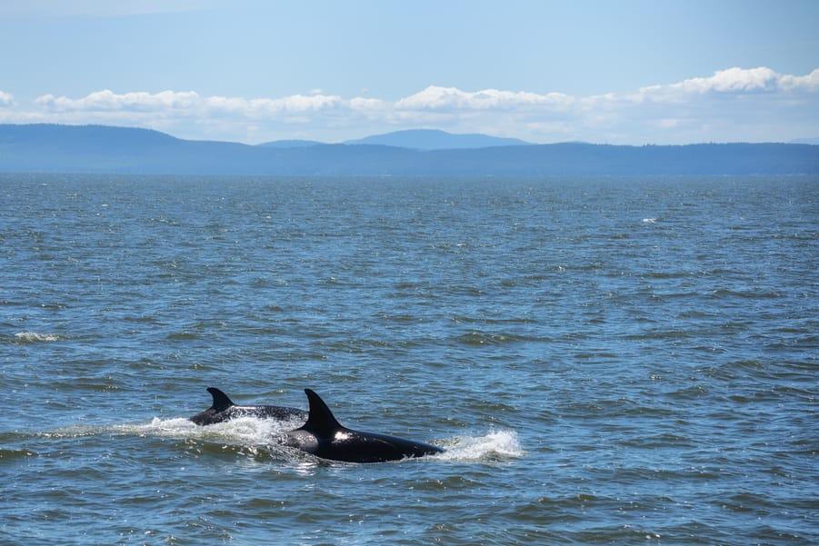 ver ballenas en canada en vancouver