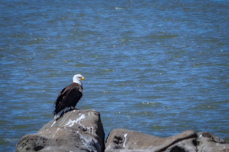 bald eagle best place to see them Vancouver canada