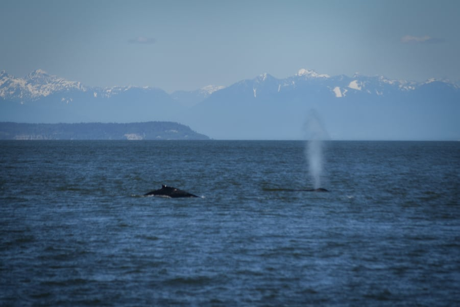 see whales in canada vancouver
