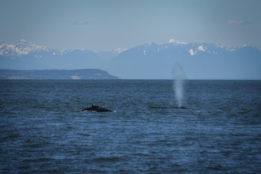 temporada de orcas en canada