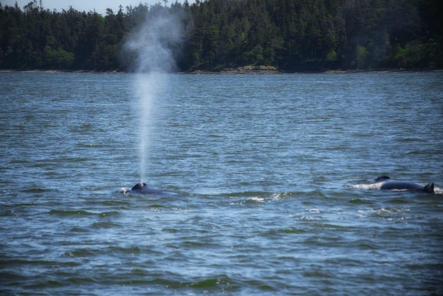 epoca de orcas en canada