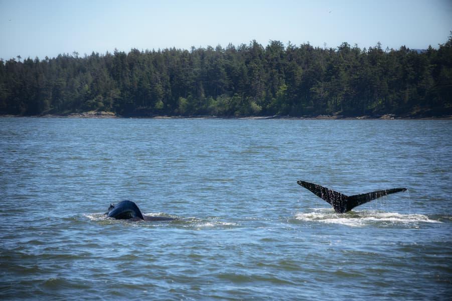 ver ballenas en canada