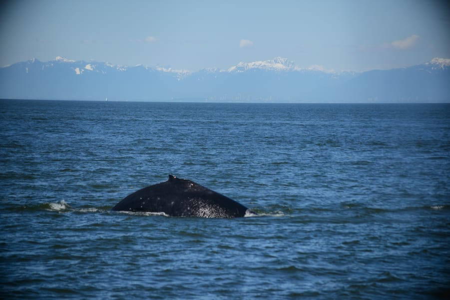 best time to see wild animals Canada humpback whale