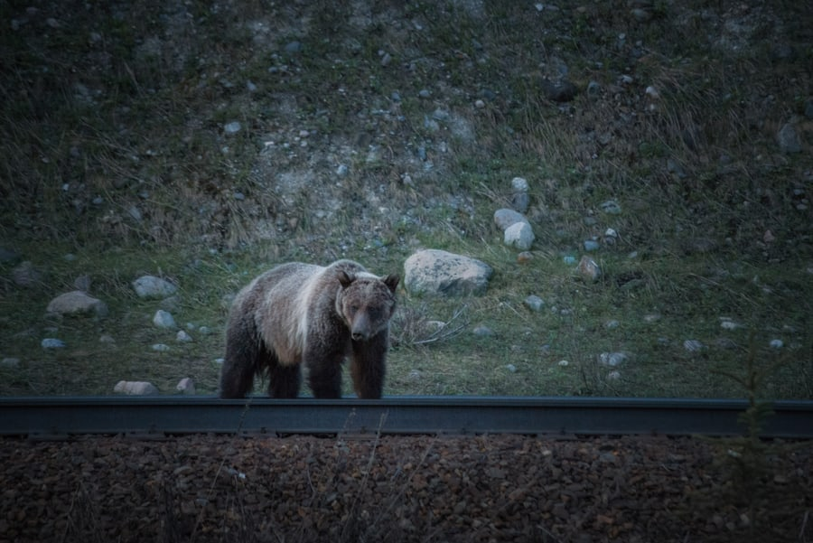 grizzly bear in yoho national park