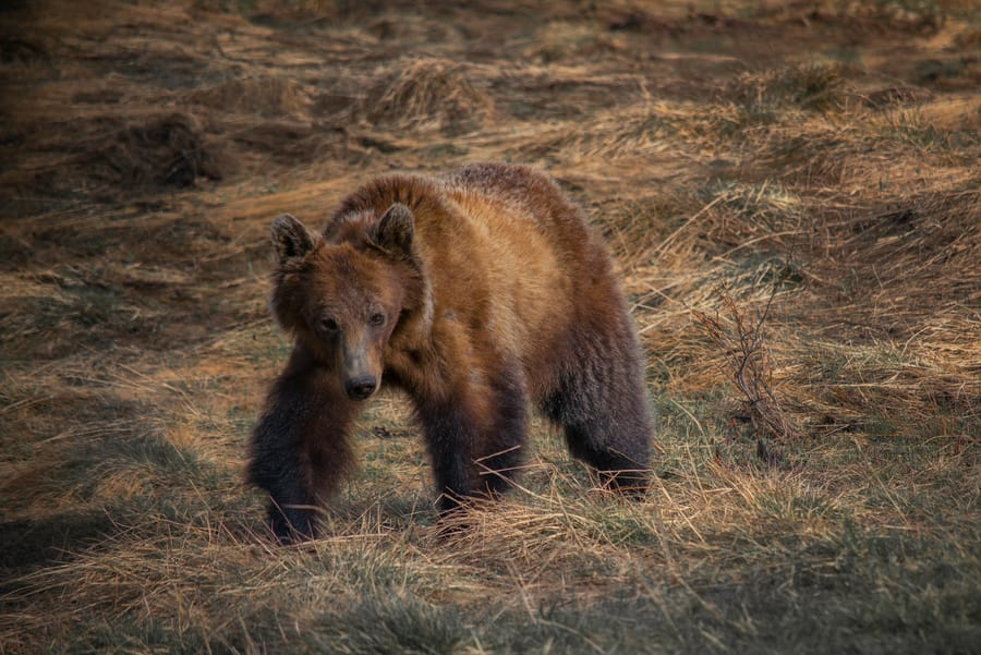 grizzly bear banff national park Canada wildlife
