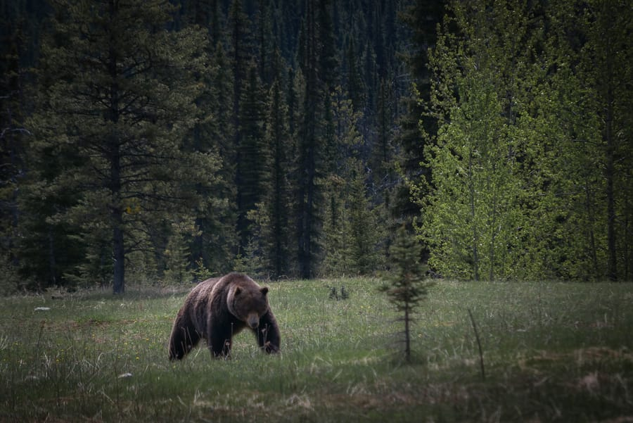 grizzly bear lake louise canda wildlife
