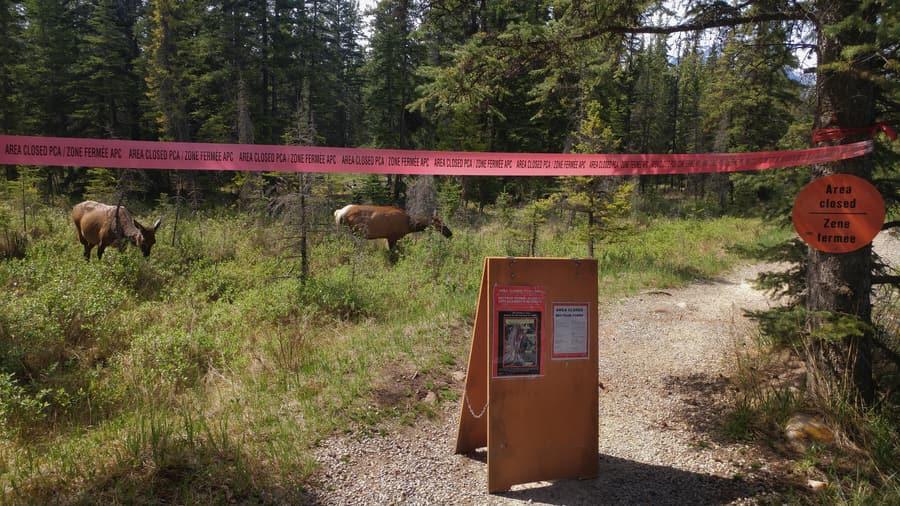 elk calving season wildlife Canada jasper national park