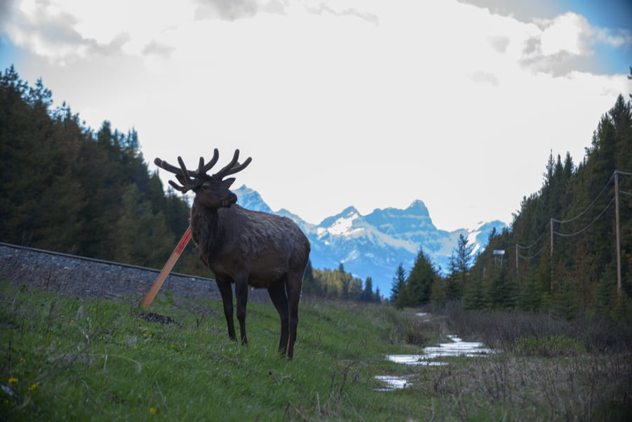 deer in the Canadian rockies where to see them