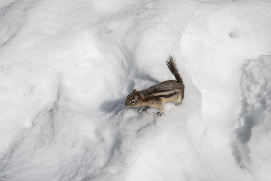 ardilla least chipmunk sobre la nieve animales montañas rocosas de canada
