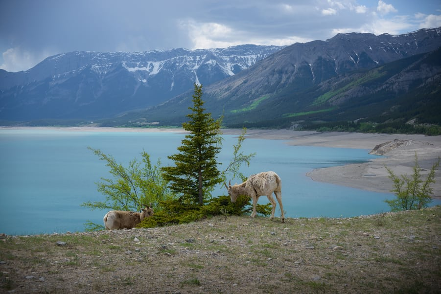 abraham lake big horn sheep icefields parkway