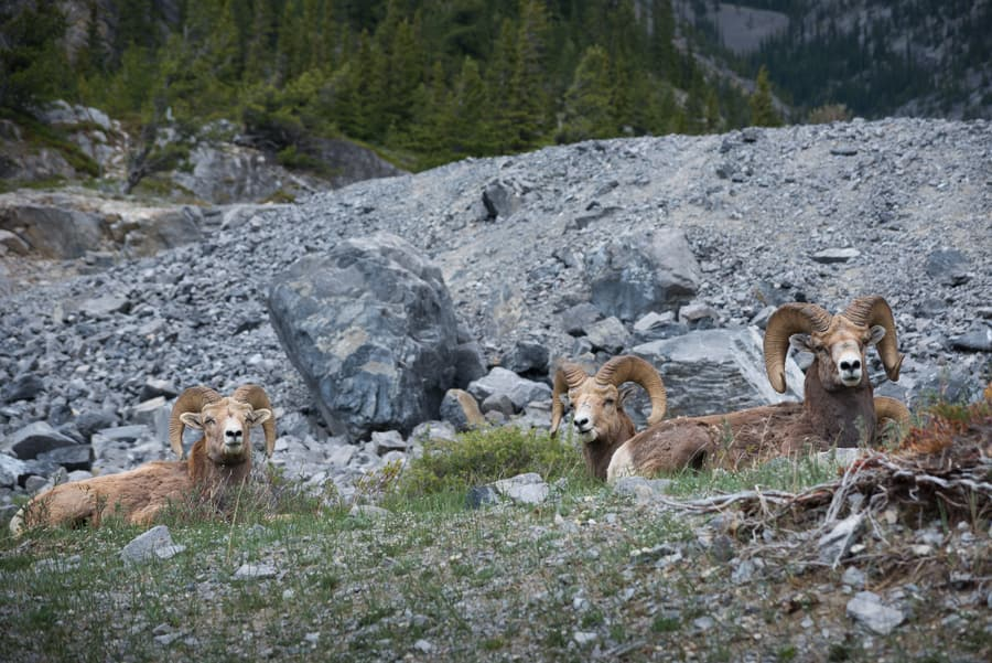 bighorn sheep in Canadian rockies