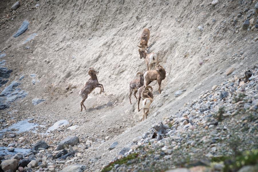 borregos cimarrones fauna de las montañas rocosas de canada