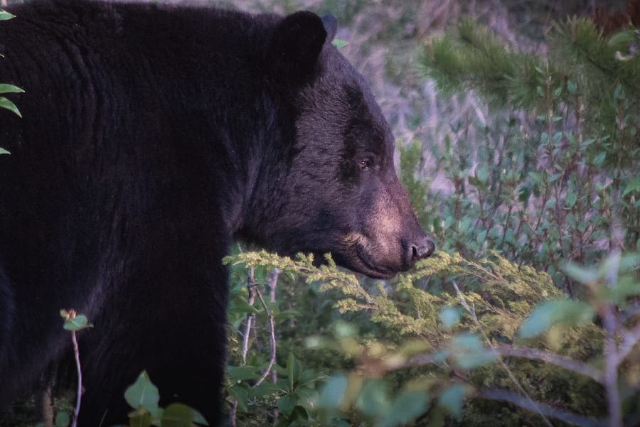 tips to survive a black bear attack