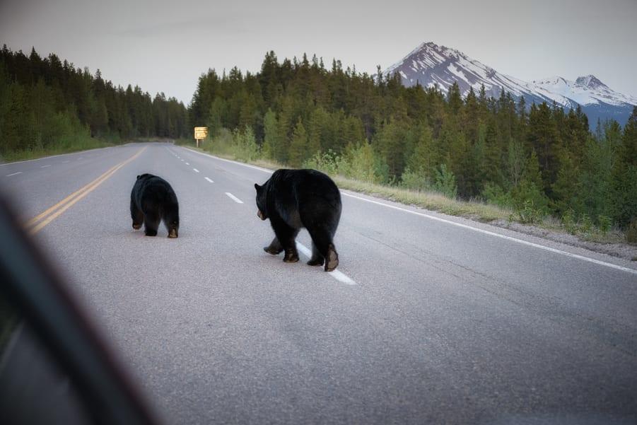 osos cruzando carretera icefields parkway. la carretera más bonita del mundo