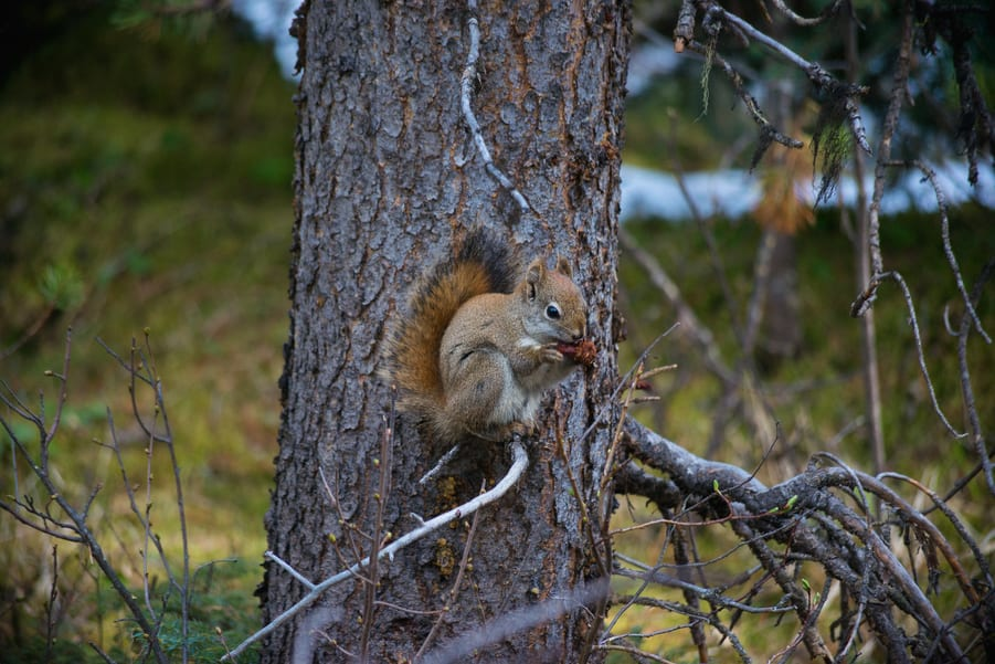 ardilla red squirrel en el parque nacional jasper