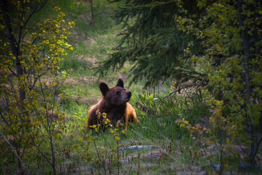 bear photo tour in canadian rockies