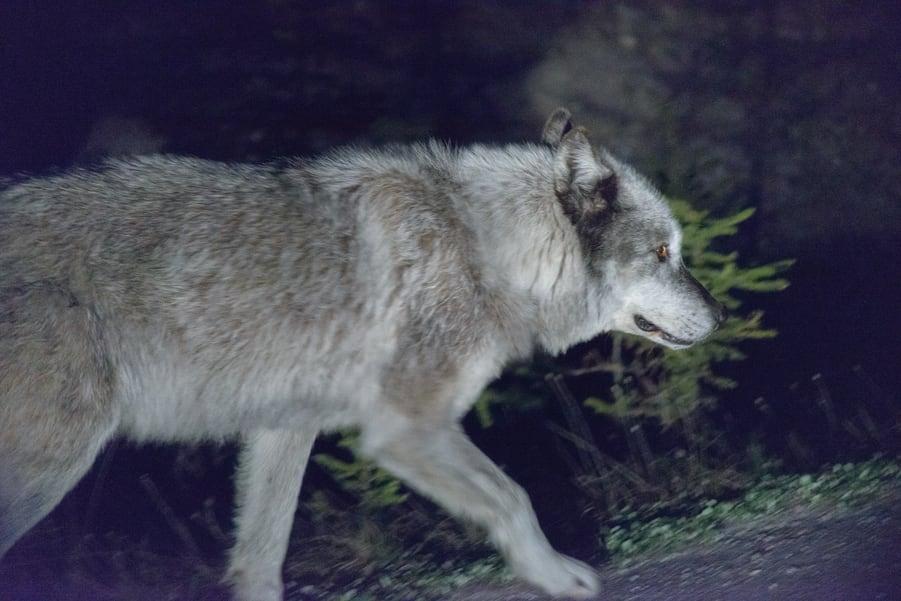 lobo en las montañas rocosas de canada jasper national park