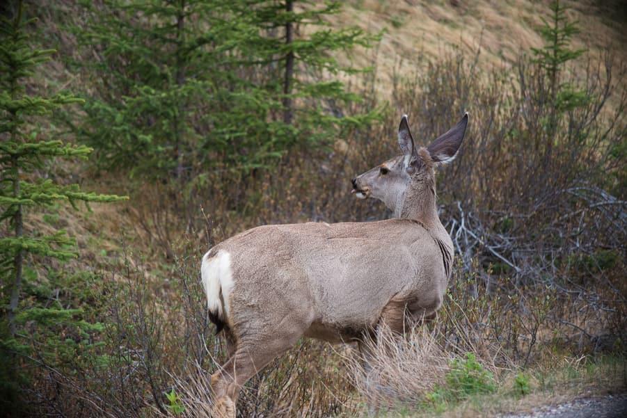 cola del ciervo mular en las montañas rocosas de canada animales mamiferos