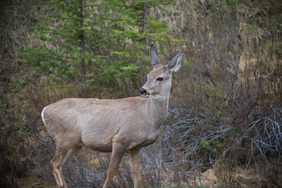guide to spotting wildlife in the Canadian rockies