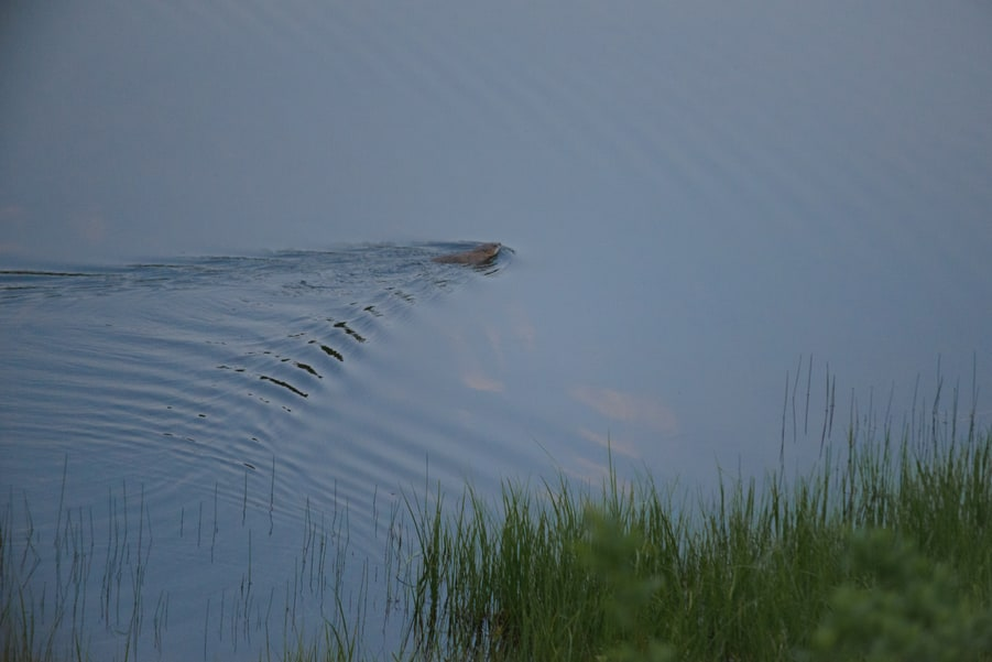 photograph beavers in Canadian rockies wildlife