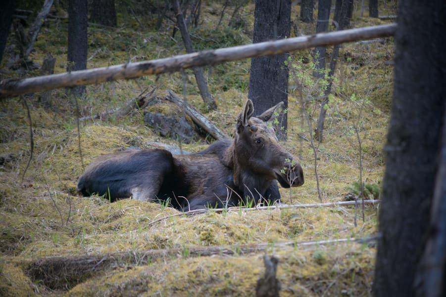 wildlife in jasper national park moose