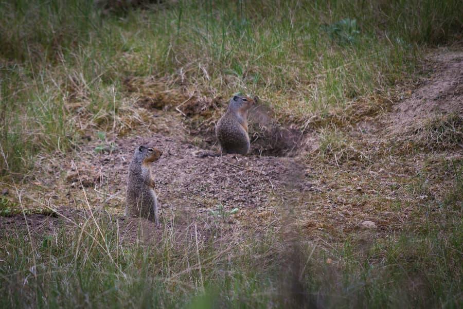 ardillas terrestres de columbia montañas rocosas canada animales y fauna autoctona