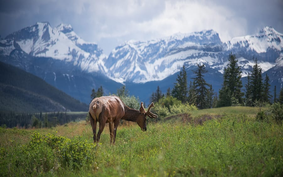 wapiti or elk in the Canadian rockies