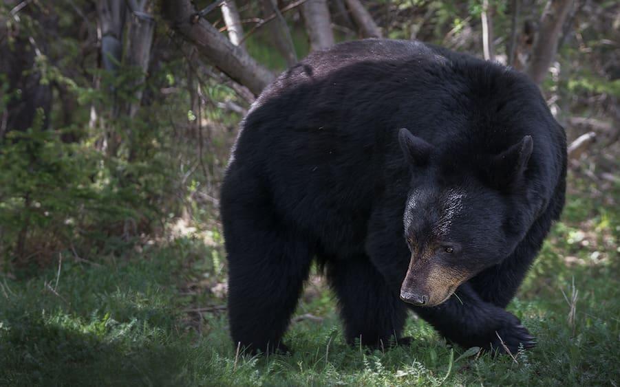 black bear offspring attack