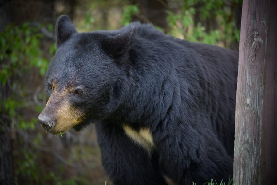 black bear jasper national park best places to viewing wildlife