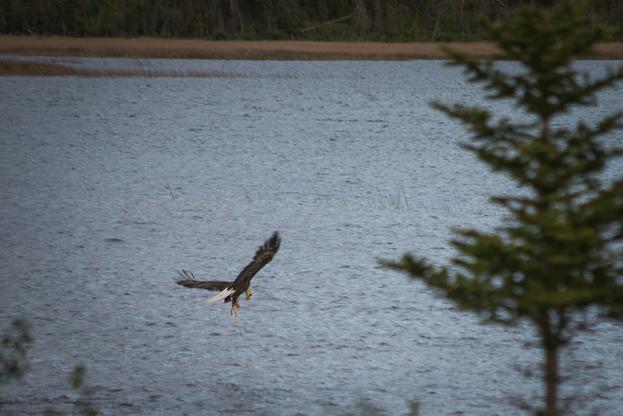 bald eagle fishing in Canadian rockies jasper national park