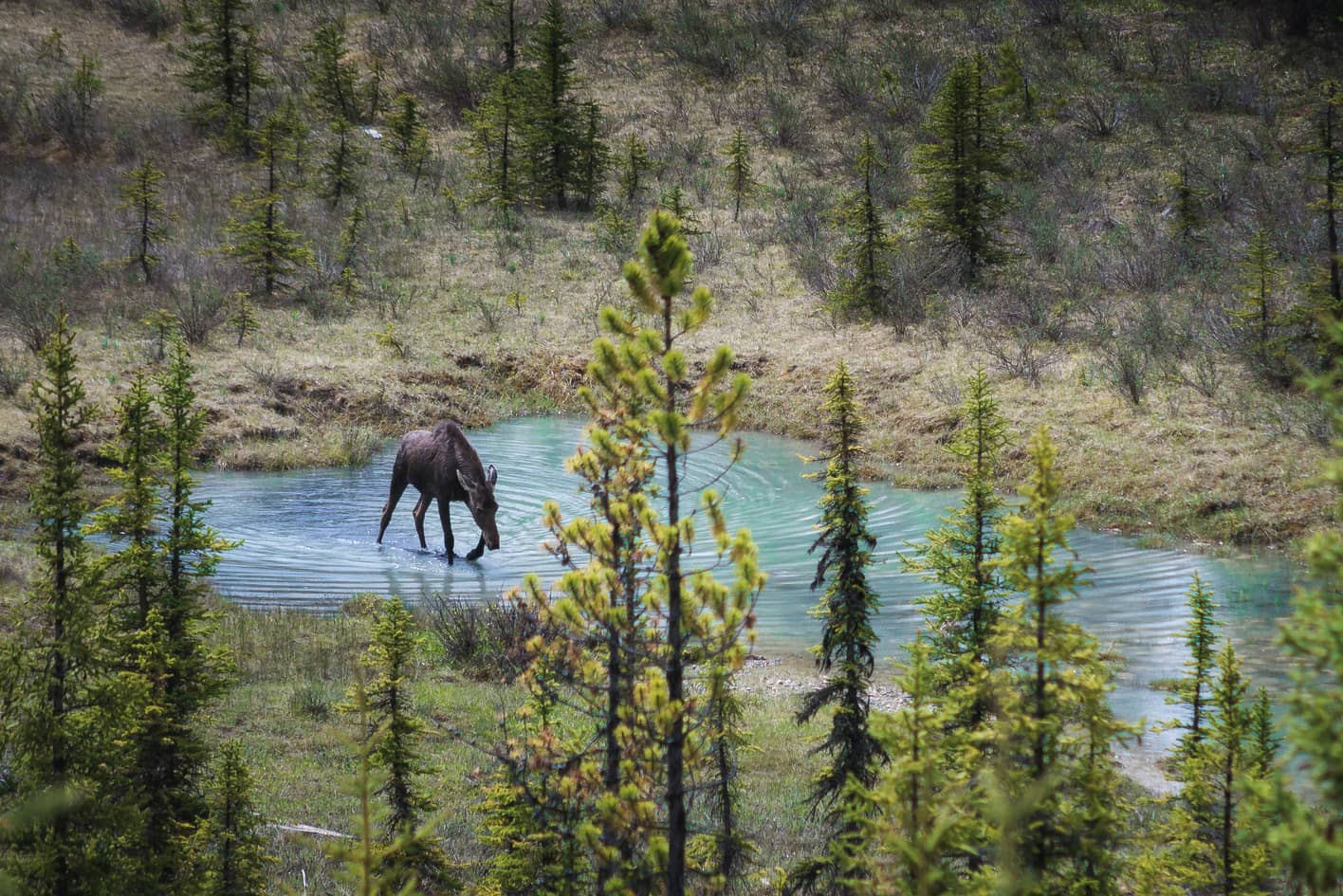 where to spot moose at the Canadian rockies