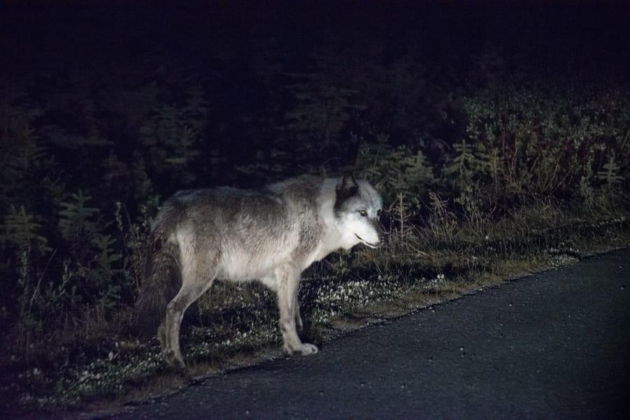 lobo en maligne road animales de las montañas rocosas de canada